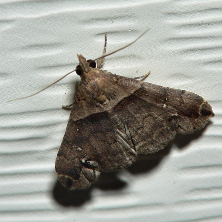 Small Brown Moth - Lascoria ambigualis - male