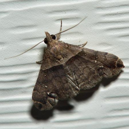 Small Brown Moth - Lascoria ambigualis - male