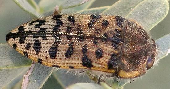 metallic woodborer - Acmaeodera maculifera