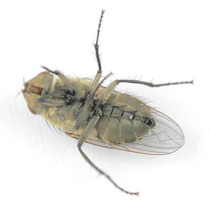 Probably Pollenia rudis -? - Pollenia rudis - female