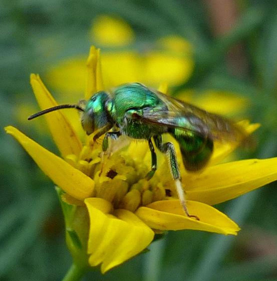 Augochloropsis? - Augochloropsis metallica