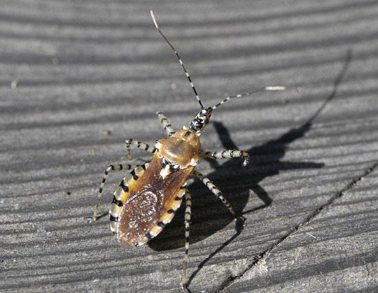 Sycamore Assassin Bug - Pselliopus cinctus