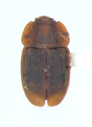 Epuraea rufa - male