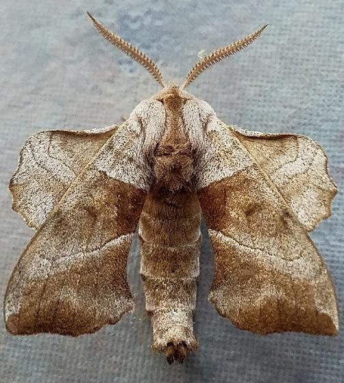 Amorpha juglandis (Walnut Sphinx) - Amorpha juglandis