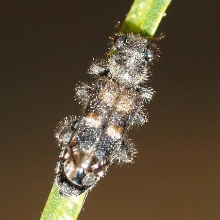 Clerid - Phyllobaenus robustus