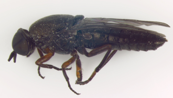 Scenopinidae, lateral - Scenopinus - female