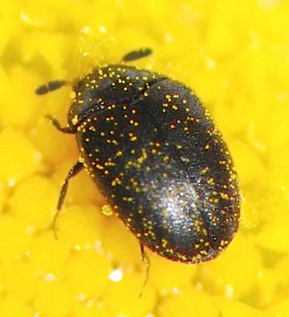 tiny Carpet Beetle - Cryptorhopalum triste