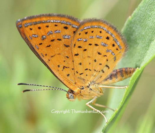 Swamp Metalmark - Calephelis muticum - male