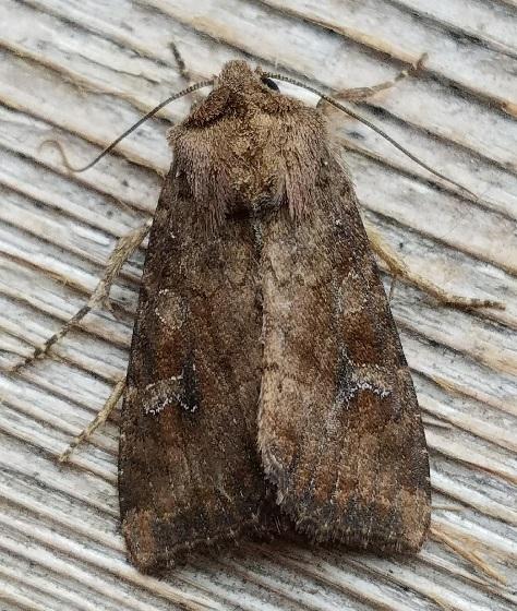 Loscopia velata (Veiled Ear Moth) - Loscopia velata