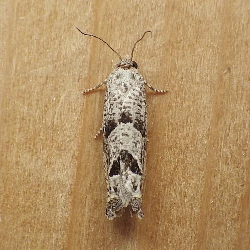 Tortricidae: Eucosma seamonsi? - Pelochrista costastriata