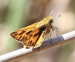 Hylephila phyleus - male