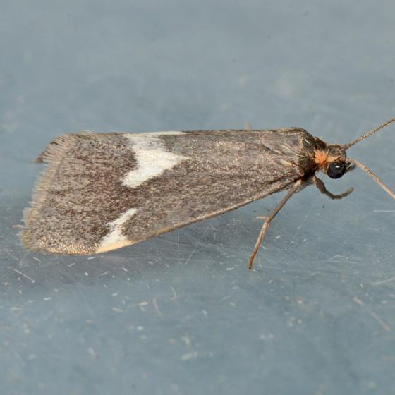8062  - Cisthene liberomacula