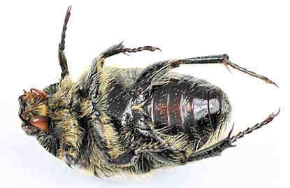 Scarabaeidae - Euphoria? - Euphoria kernii