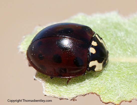 Lady Beetle - Anatis labiculata