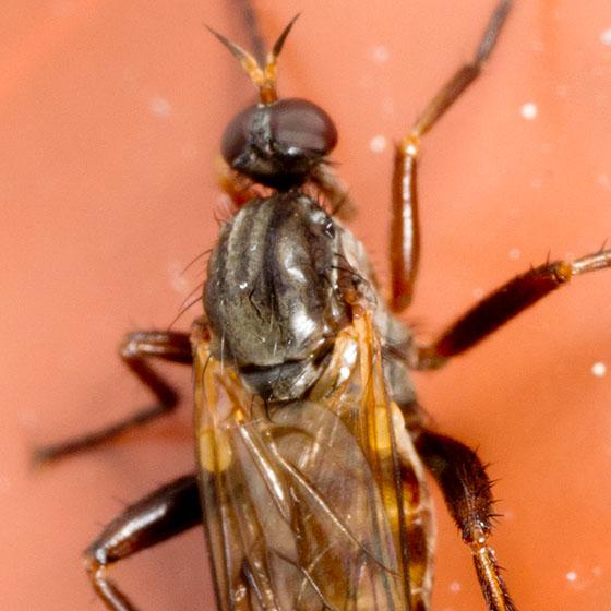 Longish Fly - Rhamphomyia