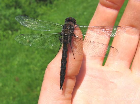 Common Baskettail - Epitheca cynosura - male