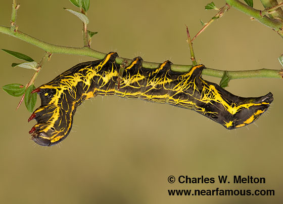 Larva Day 30 - Crinodes biedermani