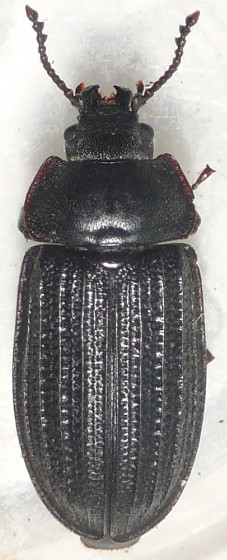 Bark-gnawing Beetle - Grynocharis quadrilineata
