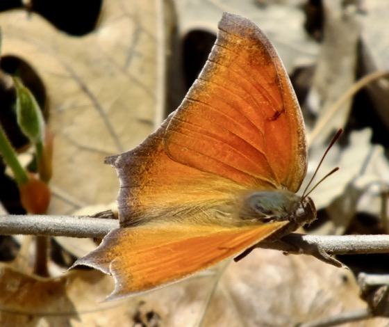 Goatweed Leafwing - Anaea andria - male