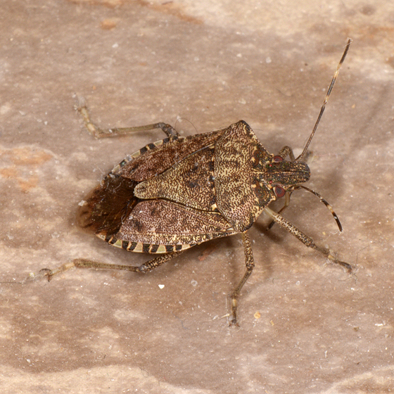 Brown Marmorated Stink Bug - Halyomorpha halys - Halyomorpha halys