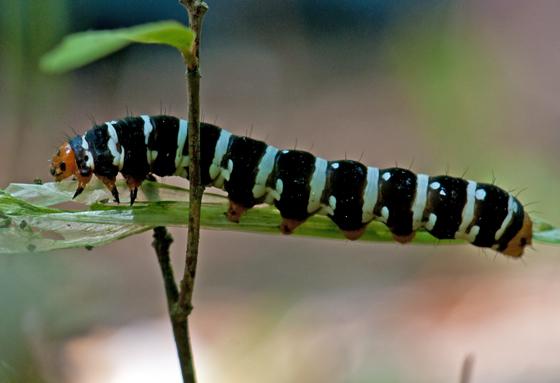 Convict Caterpillar (Spanish Moth - Hodges#10640) - Xanthopastis regnatrix