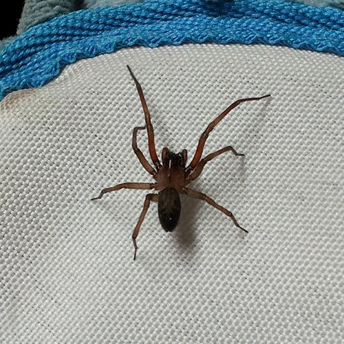 What house spider is this? - Metaltella simoni