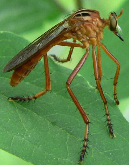 Hanging thief - Diogmites neoternatus - female