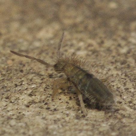 Very small louse-like insect - Entomobrya unostrigata