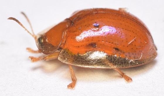 Charidotella sexpunctata