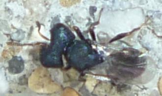 Unknown Wasp - Cratomus megacephalus