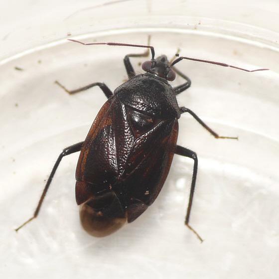 Deraeocoris nigritulus