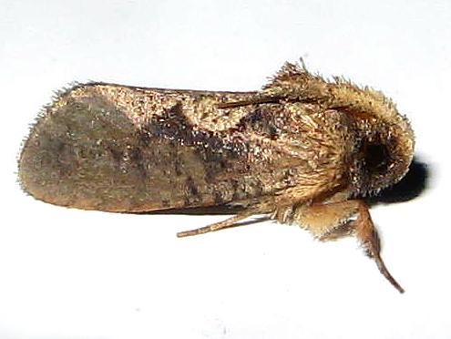 Tubeworm Moth - Acrolophus walsinghami