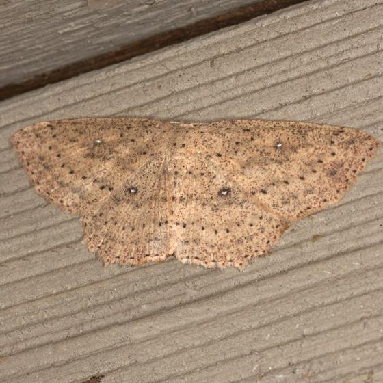 Packard's Wave Moth - Hodges #7136 - Cyclophora packardi