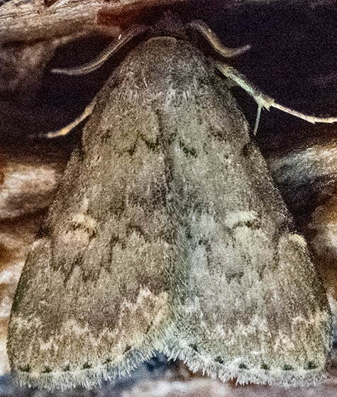 Moth eating banana - Idia