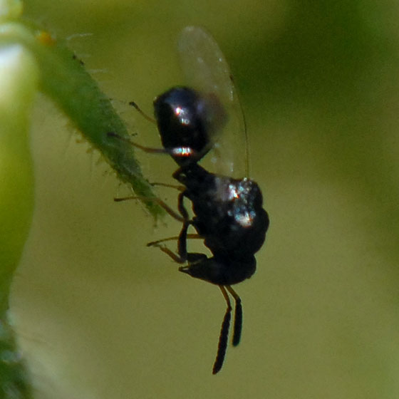 ID for a tiny wasp? - Orasema occidentalis