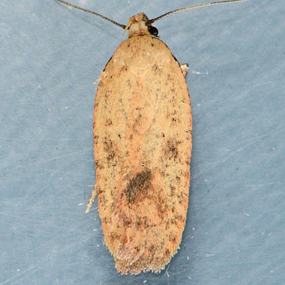 Moth for ID - Agonopterix posticella