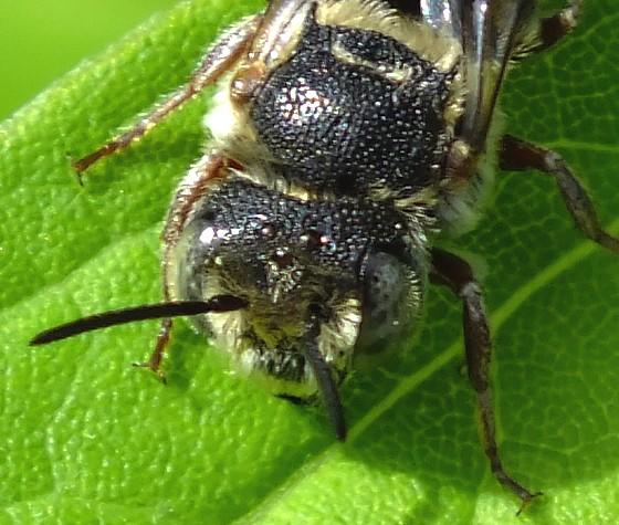 Common Sawfly ? - Coelioxys
