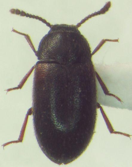 Coleoptera - Pisenus humeralis