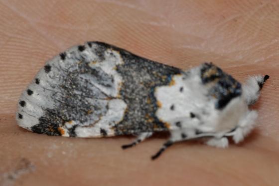 White Furcula Moth - Furcula borealis