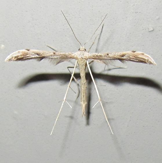 Hodges #6154 - Belfrage's Plume Moth - Pselnophorus belfragei