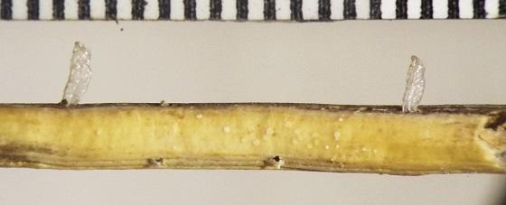 Cecidomyiidae, prairie grass - Calamomyia
