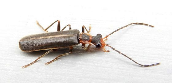 Pennsylvania Beetle for ID - Dichelotarsus cinctipennis