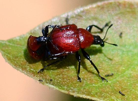 Attelabus nigripes - Homoeolabus analis - male - female