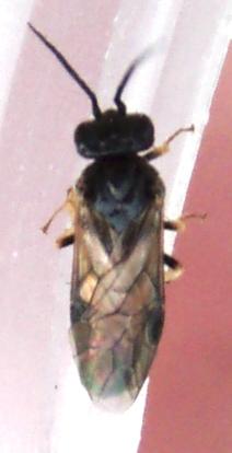 sawfly - Cladius difformis - female