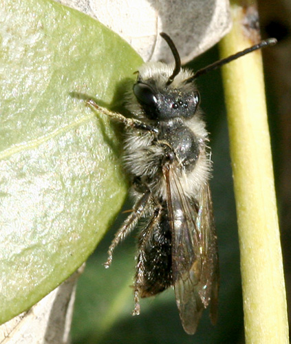 Bee ID please - Andrena - male