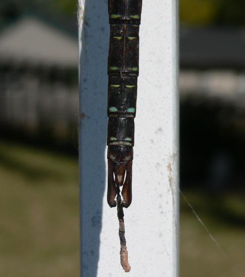 Shadow Darner - Aeshna umbrosa - male