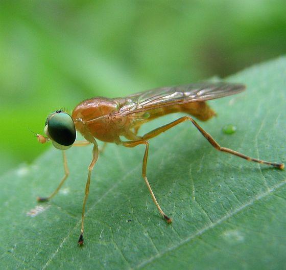 Stratiomyid - Ptecticus trivittatus