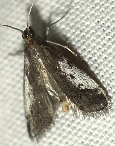 Pyralidae? - Alpheias oculiferalis