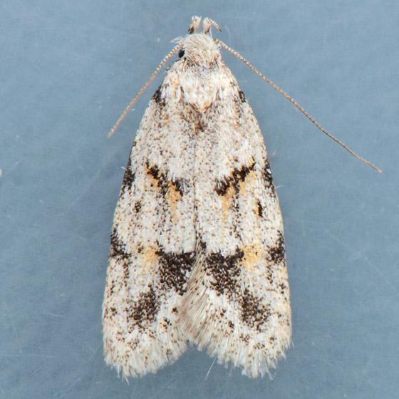 Moth for ID  - Symmoca signatella