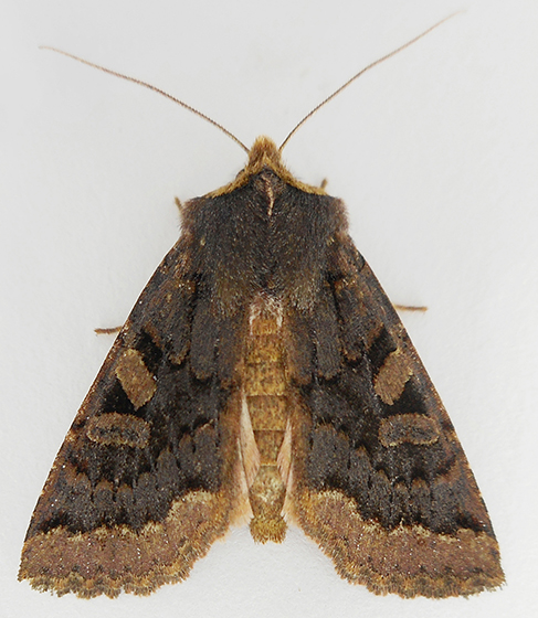 Moth - Orthosia praeses